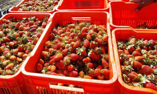 fresas_cajas1